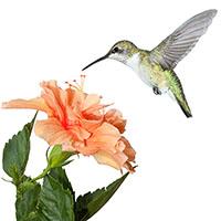 FLoracopeia Hummingbird